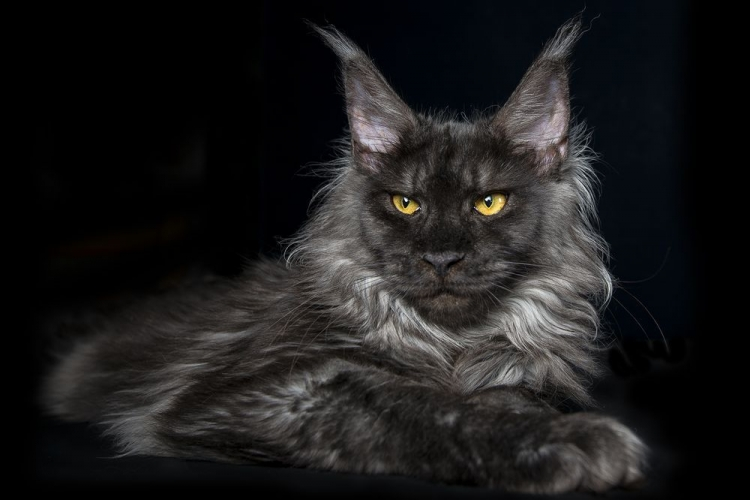 mainecoonsportraits4.jpg